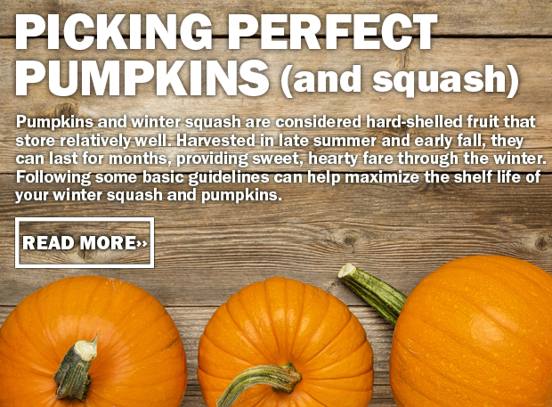 Picking Perfect Pumpkins (and squash)! Pumpkins and winter squash are considered hard-shelled fruit that store relatively well. Harvested in late summer and early fall, they can last for months, providing sweet, hearty fare through the winter. Following some basic guidelines can help maximize the shelf life of your winter squash and pumpkins. Click here to read more!