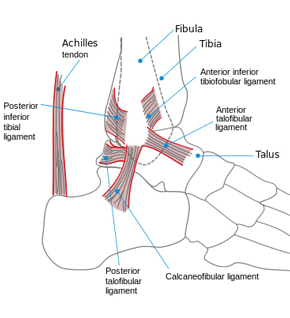 Ankle Ligaments and Tendons